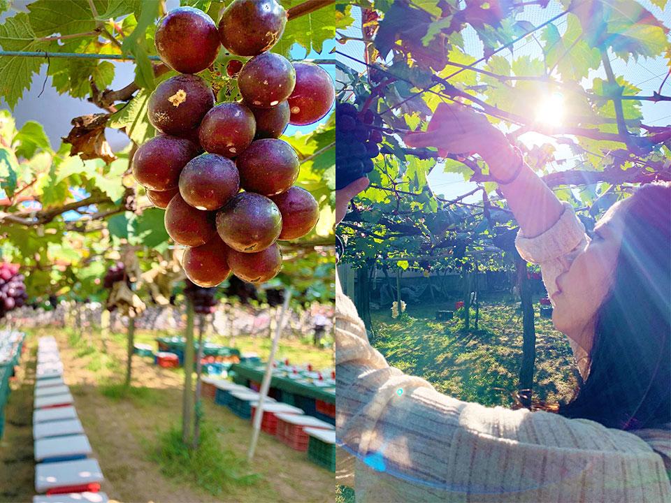 新峰農場葡萄莊園1